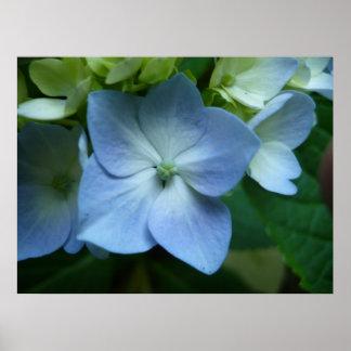 Hydrangea in Bloom Print