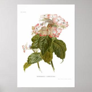 Hydrangea lindleyana poster