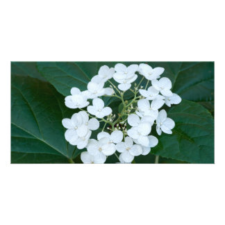 Hydrangea Plant and Flowers Picture Card