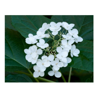 Hydrangea Plant and Flowers Postcard