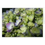 Hydrangea poner crema y púrpura tarjetón