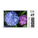 Hydrangea púrpura y azul franqueo