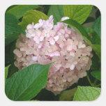 Hydrangea rosado calcomanía cuadradas