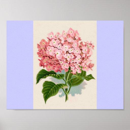 Hydrangea rosado del vintage poster