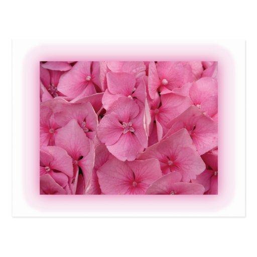 Hydrangea rosado tarjeta postal