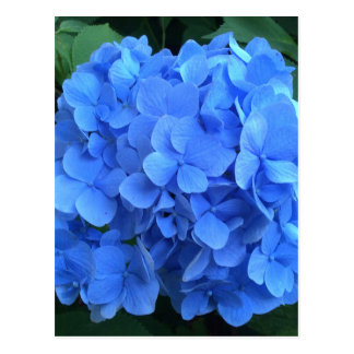 HYDRANGEA so Blue & Green - Postcard