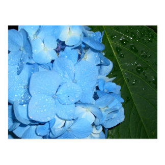 Hydrangeas CricketDiane Art,  Design & Photography Postcard