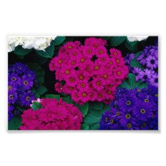 HYDRANGEAS DARK PINK PURPLES FLOWERS BEAUTY NATURE PHOTO PRINT