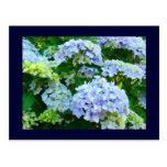 Hydrangeas florales del verano de los jardines de  postales