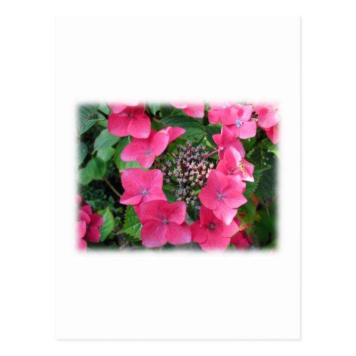 Hydrangeas. Flores rosadas. Blanco Postal