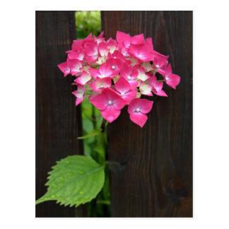 hydrangeas in bloom postcard
