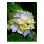 Hydrangeas Linda Flor Post Cards