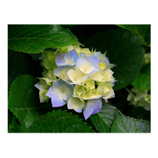 Hydrangeas Linda Flor Postcard