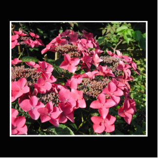 Hydrangeas. Pink Flowers on Black. Cutout