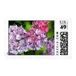 Hydrangeas púrpuras y rosados que casan franqueo