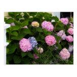 Hydrangeas rosados del ladrillo postal