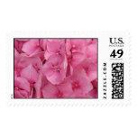 Hydrangeas rosados franqueo