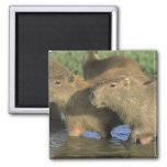 Hydrochaeris del Capybara, de Hydrochaeris), mundo Imán Cuadrado