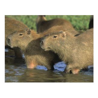 Hydrochaeris del Capybara, de Hydrochaeris), mundo Tarjetas Postales