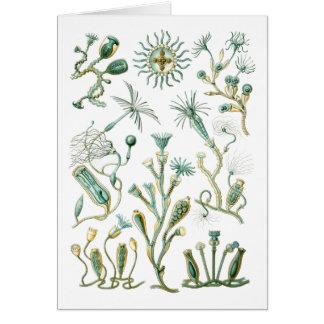 Hydromedusae (Campanariae) Card