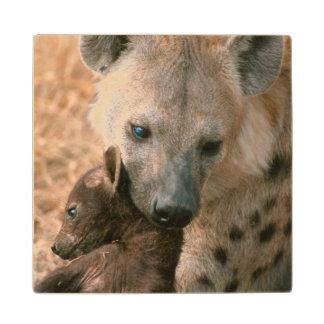 Hyena manchado (Crocuta del Crocuta) con el Posavasos De Madera