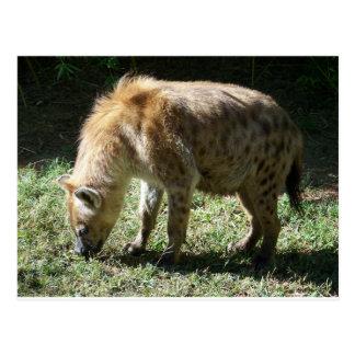 Hyena Postcard
