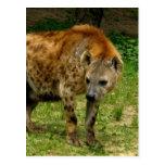 Hyena Prowl Postcard
