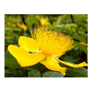 Hypericum Calcyinum Postcard