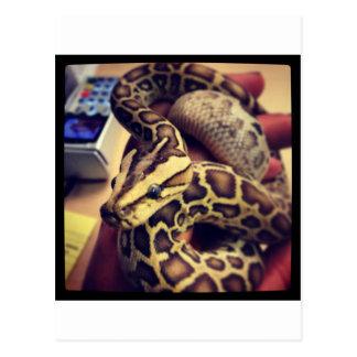 Hypo baby burmese python photo design. postcard