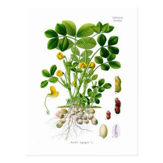 Hypogaea del cacahuete (cacahuete) tarjetas postales