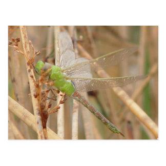 I0001 Green Dragonfly Postcard