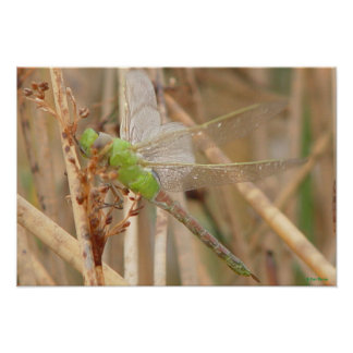 I0001 Green Dragonfly Poster