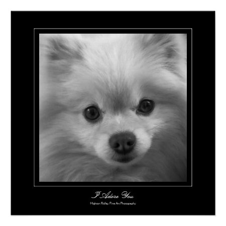 I Adore You - Puppy eyes of a pomeranian Poster