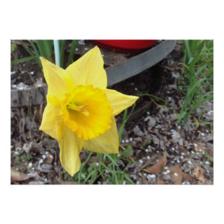 I Am A Yellow Narcissus, Not A Lily Poster