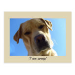 I am sorry - Cute Yellow Labrador portrait Post Card