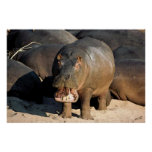 I Don't Want To Hippopotamus Portrait Posters