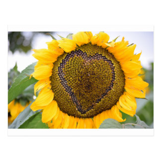 I Heart Sunflower Postcard