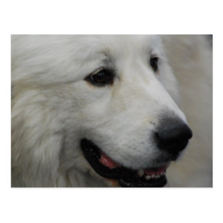 I Love Great Pyrenees  Postcard
