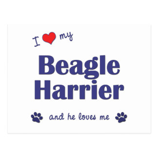 I Love My Beagle Harrier (Male Dog) Postcard