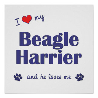I Love My Beagle Harrier (Male Dog) Poster