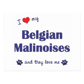 I Love My Belgian Malinoises (Multiple Dogs) Postcard