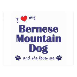 I Love My Bernese Mountain Dog (Female Dog) Postcard