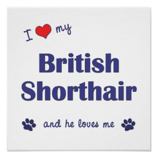 I Love My British Shorthair (Male Cat) Posters