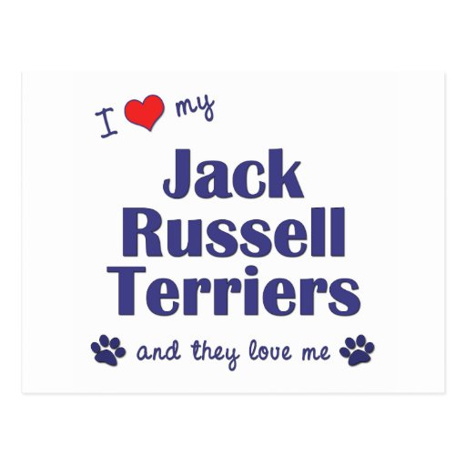 I Love My Jack Russell Terriers (Multiple Dogs) Postcard