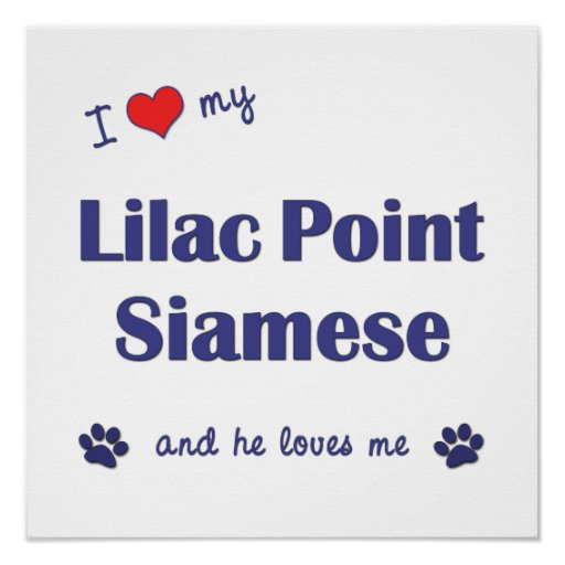I Love My Lilac Point Siamese (Male Cat) Print