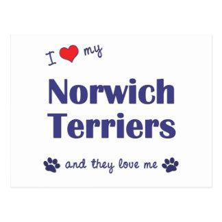 I Love My Norwich Terriers (Multiple Dogs) Postcard