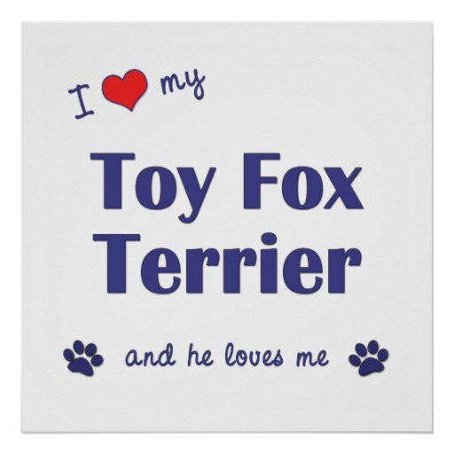 I Love My Toy Fox Terrier (Male Dog) Poster