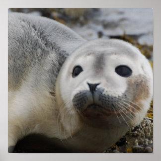 I Love Seals Poster