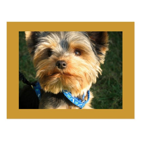 I Love Yorkies Postcard