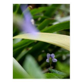 I saw you... Wild Violets - Floral Photography Postcard